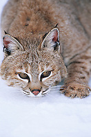 Wild cat lying in snow