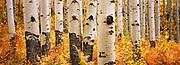 Old growth aspen grove in autumn on McClure Pass near Aspen, Colorado