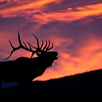 elk rocky mountain fall colors,