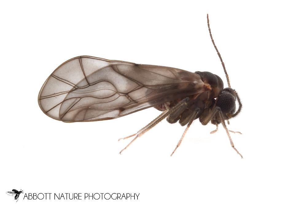 Peripsocus madidus<br /> TEXAS: Hays Co.<br /> San Marcos<br /> 22-Feb-2012<br /> J.C. Abbott &amp; K.K. Abbott