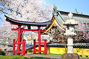 A japanese temple to the right and a shinto shrine to the left located in Hirosaki northern Japan. It is spring time and surrounded with beautiful cherry blossoms.