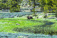 Grizzly sow and cub on the way to the watering hole in Grand Teton National Park.