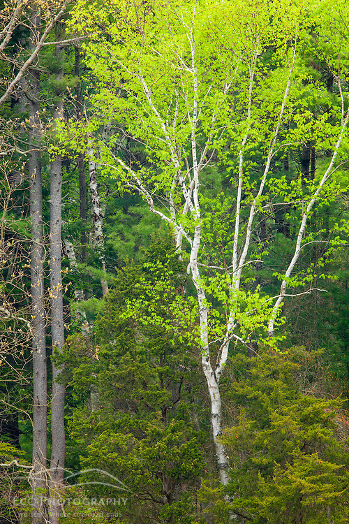 A paper birch tree in spring at the Urban Forestry Center in Portsmouth, New Hampshire.