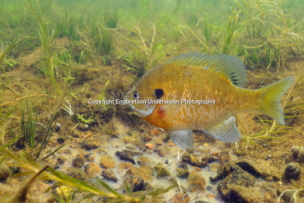 Bluegill (male guarding nest with eggs)<br /> <br /> Engbretson Underwater Photography