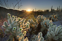 Teddy Bear Cholla cactus (Cylindropuntia bigelovii) glowing in the rays of the setting sun, Organ Pipe Cactus National Monument Arizona