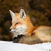 Winter Fox 2016