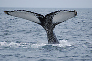This is a photograph of a Baleen Whale's fluke with ocean spray. Taken in Gloucester, Massachusetts.