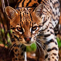 Felinos (Gatos, Jaguatiricas, Hienas, Onças, Leões) - Felidae / Felid