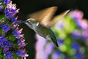 humming bird using its tongue to obtain the nectar from the flower. The beehas an important role in pollinating flowering plants.