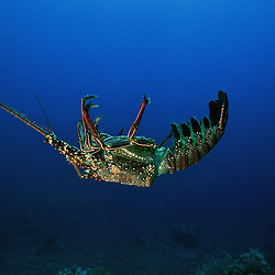 Lobster carapace, Hawaii