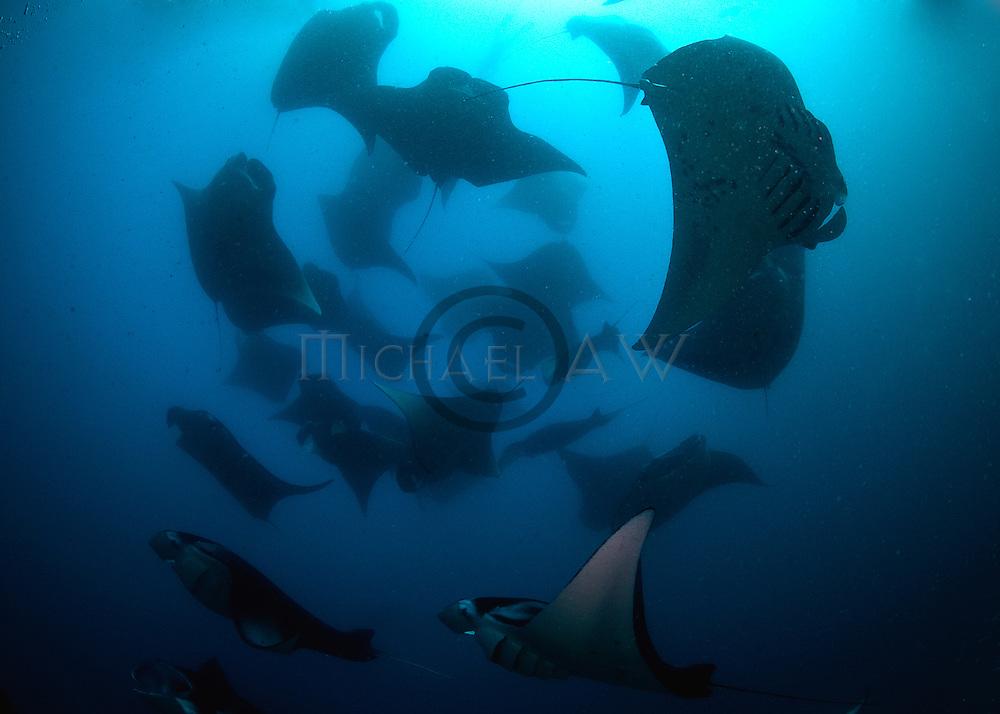 Mantas (Manta birostis) predictably found Hanifaru Bay;