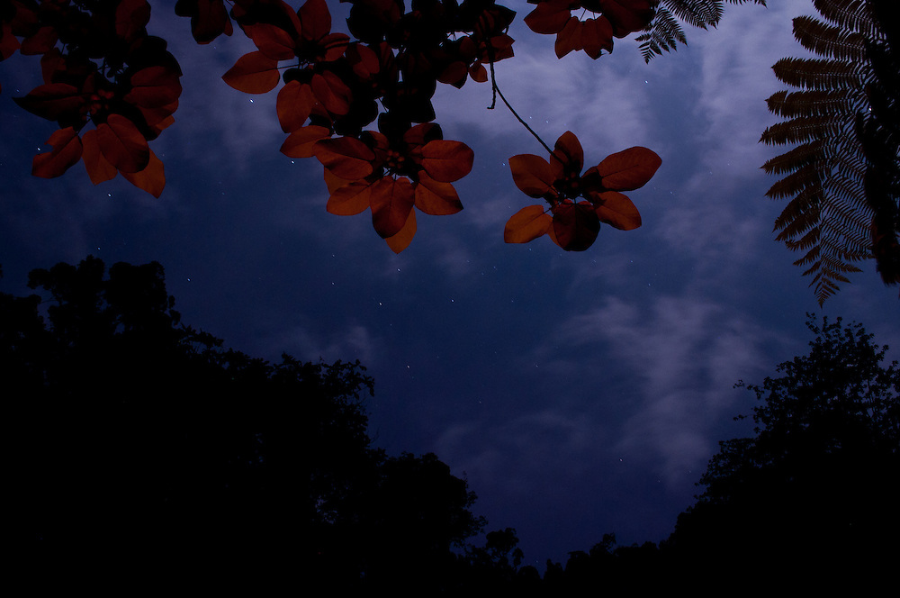Firelight lights the rainforest canopy from below with the night sky in the background along the Bahorok in Gunung Leuser National Park, Sumatra, Indonesia