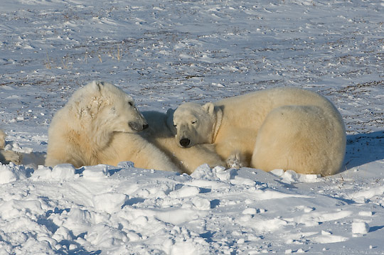 Polar Bear (Ursus maritimus) a pair rests along the shores of Hudson Bay at Cape Churchill, Manitoba