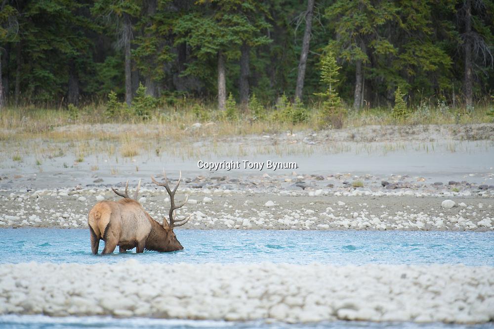 bull elk in river drinking