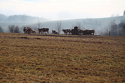 CZECH REPUBLIC VYSOCINA NEDVEZI 6JAN18 - Cattle graze no a field near the village  Nedvezi, Vysocina, Czech Republic.<br /> <br /> <br /> <br /> jre/Photo by Jiri Rezac<br /> <br /> <br /> <br /> © Jiri Rezac 2018