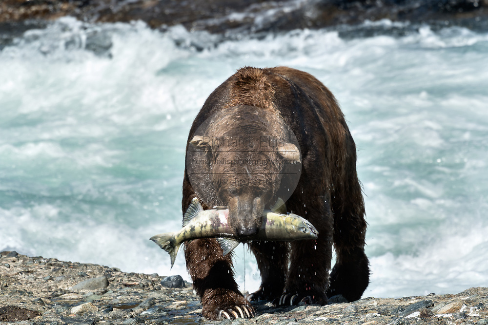 A large adult grizzly bear carries a chum salmon caught in the upper McNeil River falls at the McNeil River State Game Sanctuary on the Kenai Peninsula, Alaska. The remote site is accessed only with a special permit and is the world's largest seasonal population of brown bears.