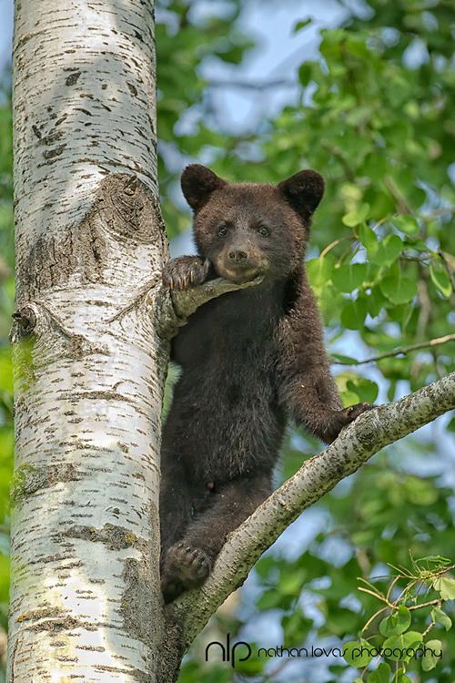 Black bear spring cub standing  in tree ;  taken in wild in Minnesota.