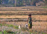 Young Nepali woman walking her goats through a field, Bardiya, Nepal