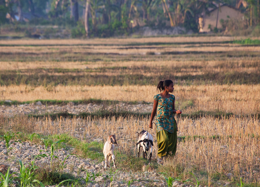 Young Nepali woman walking her goats through a field, Bardiya, Nepal