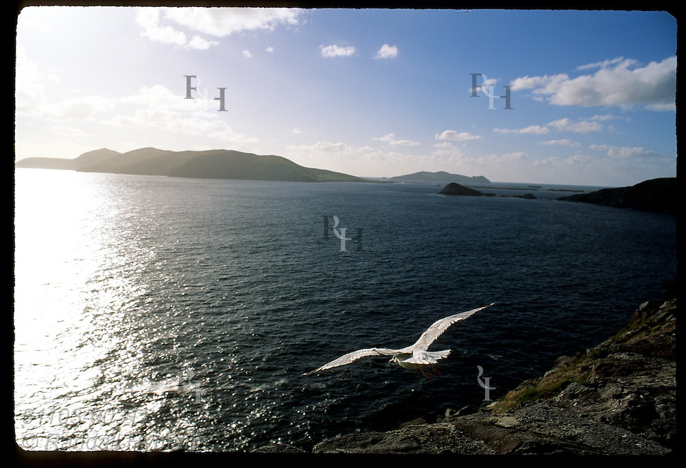 Seagull takes off from Slea Head overlooking Dingle Bay with the Blasket Islands in distance; Dingle Peninsula, Ireland.