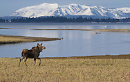 A bull moose travels along Pelican Creek in Yellowstone National Park, with snow-covered Mount Sheridan looming in the background.  Prior to the 1988 fires, moose were a common sight in this area but have been seen infrequently over the last 20+ years.  It is only in the last few years that moose have begun to return to their old haunt-a very welcome sight indeed.