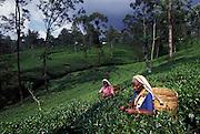 SRI LANKA: .Tea pluckers on a Kandy tea plantation