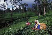 SRI LANKA: .Tea pluckers on a Kandy tea plantation