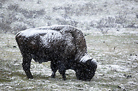 Bison Grazing in Spring Snow Storm Near Canyon Junction, Yellowstone National Park, Wyoming