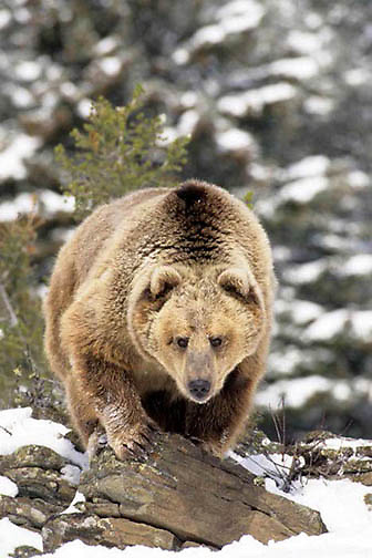 Grizzly Bear, (Ursus horribilis) Montana. Rocky mountains. Winter.   Captive Animal.