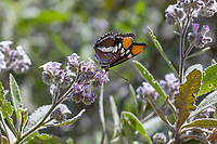 Adelpha californica (California Sister) at Grizzly Flat, Los Angeles Co, CA, USA, on Thickleaf yerba santa 14-Apr-18