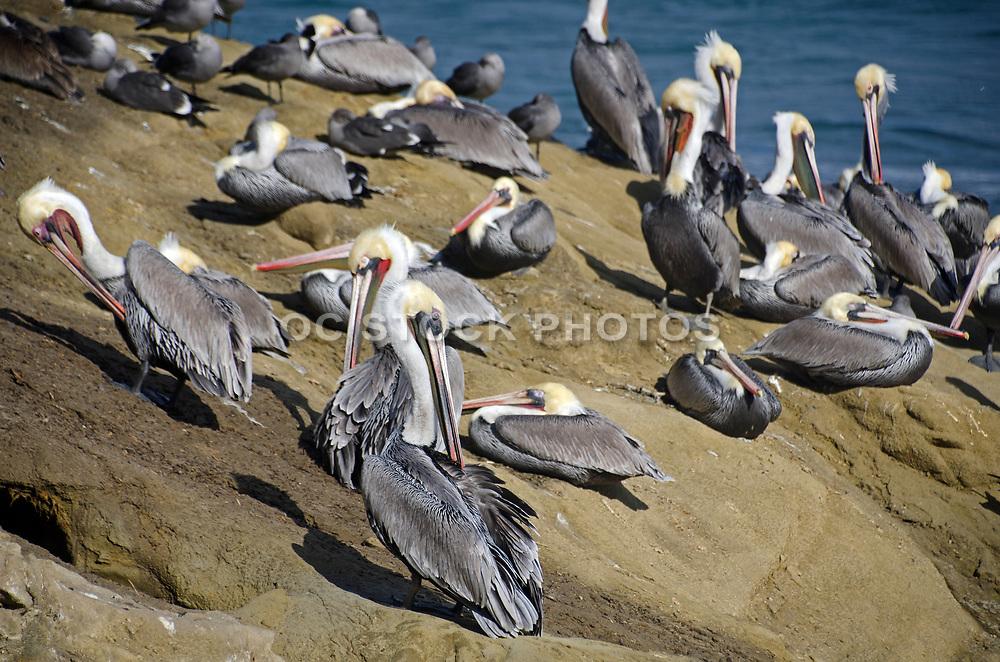 Pelicans on the Rocks in La Jolla