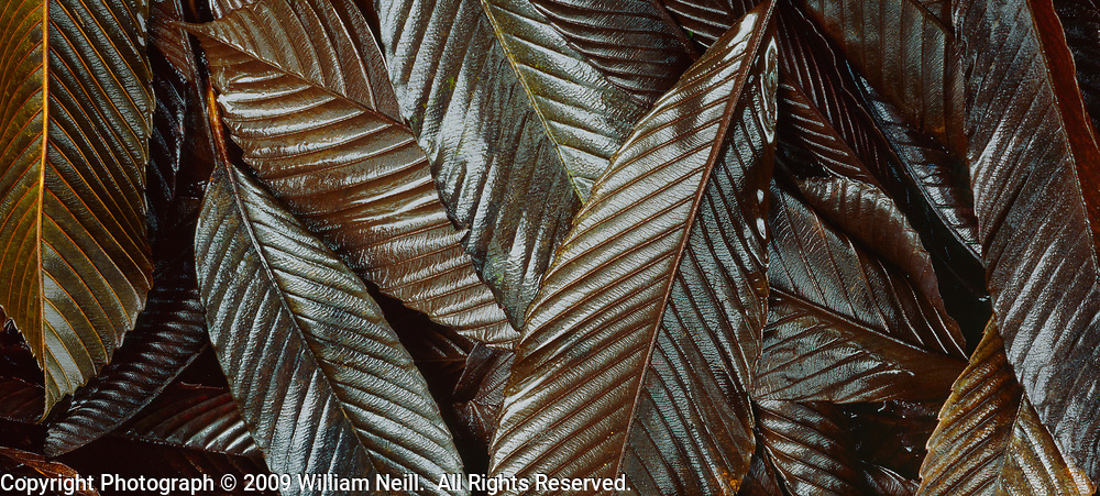 Fallen Mango leaves, Akaka Falls State Park, Island of Hawaii, Hawaii  1994