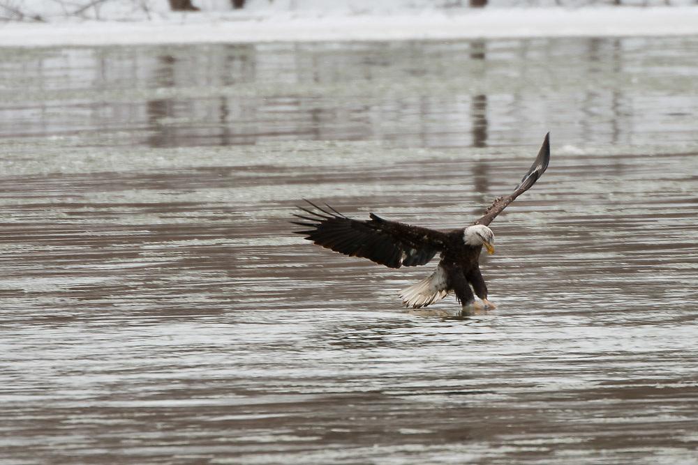 Bald Eagles of Baldwinsville