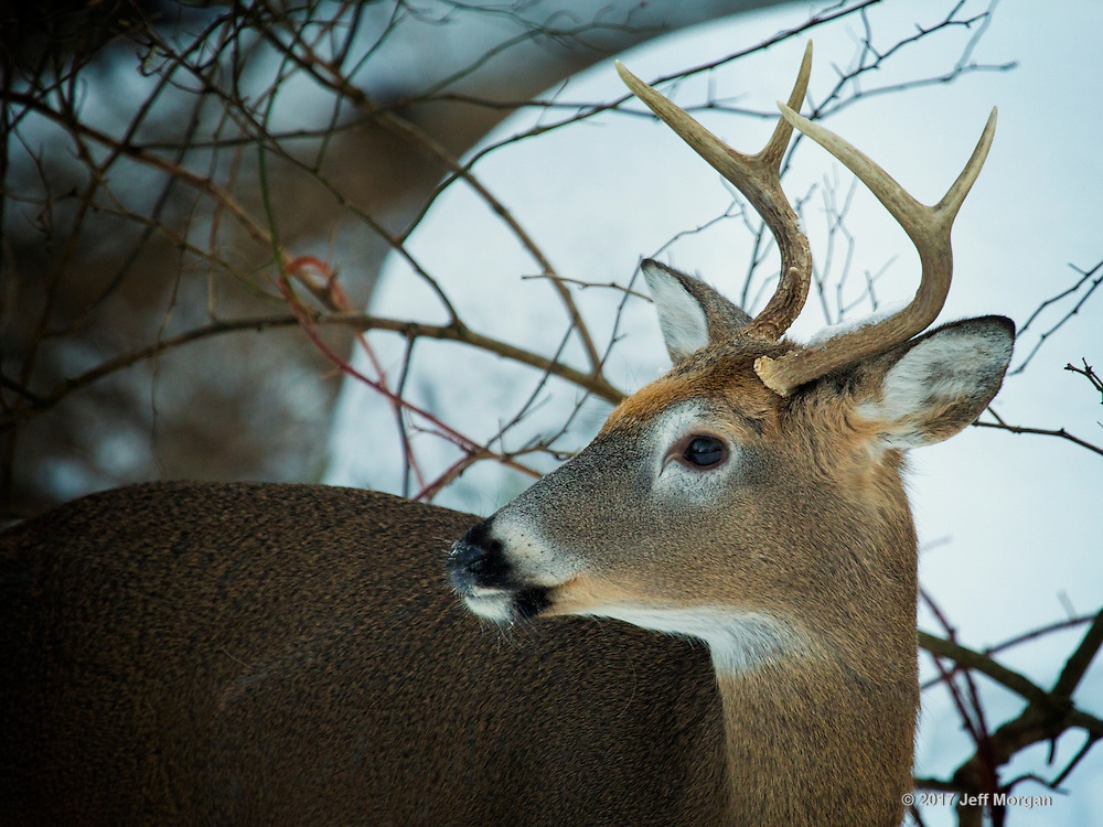 A young buck posing for a portrait.