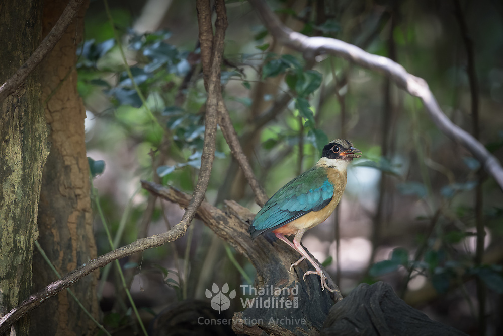 The blue-winged pitta (Pitta moluccensis) is a passerine bird in the family Pittidae  A colourful bird, it has a black head with a buff stripe above the eye, a white collar, greenish upper parts, blue wings, buff underparts and a reddish vent area. It feeds mainly on insects and worms.