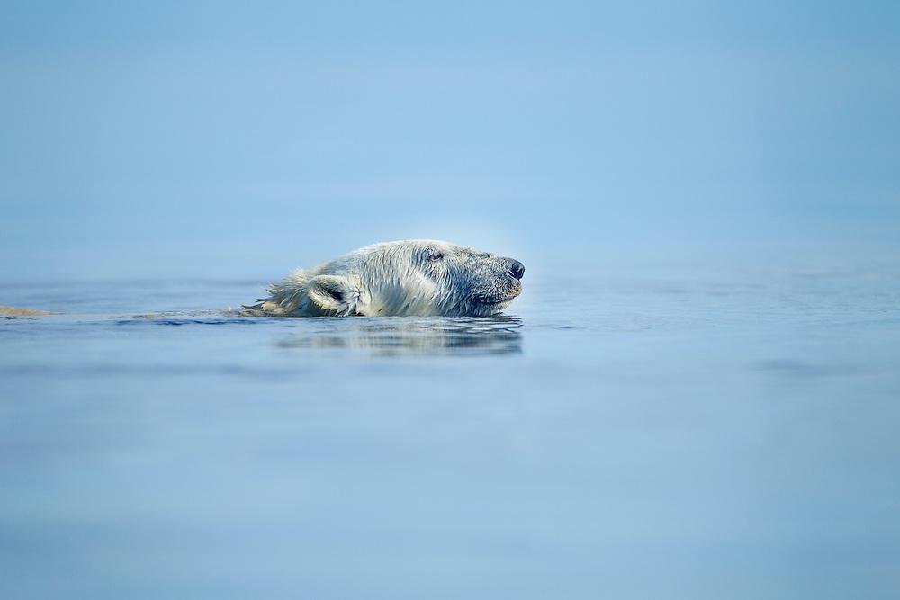 Canada, Nunavut Territory, Arviat, Polar Bear (Ursus maritimus) swimming on foggy morning near Sentry Island along Hudson Bay