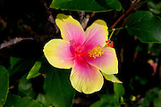 Yellow and red hibicus, Kauai, Hawaii