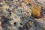 Lichen and grass on boulder, Carrizo Plain National Monument, California