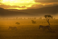 Two common zebra walking across the plains at sunset.