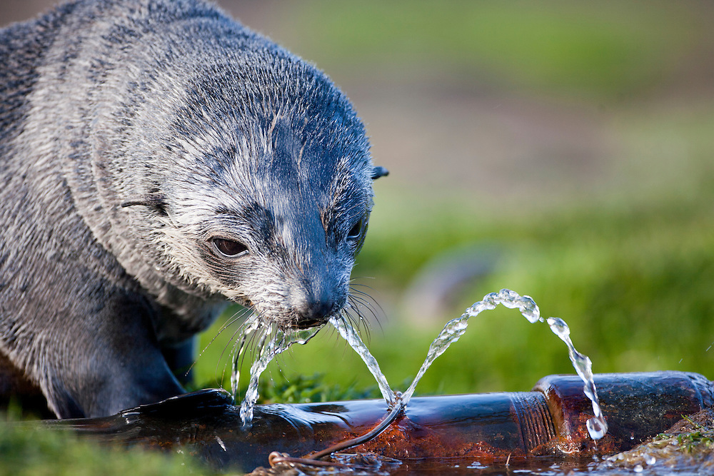 Antarctica, South Georgia Island (UK),  Antarctic Fur Seal pup (Arctocephalus gazella)  drinks from leaking water pipe at abandoned Husvik whaling station along Stromness Bay