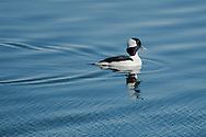 A male bufflehead glides across Round Cove in Harwich.