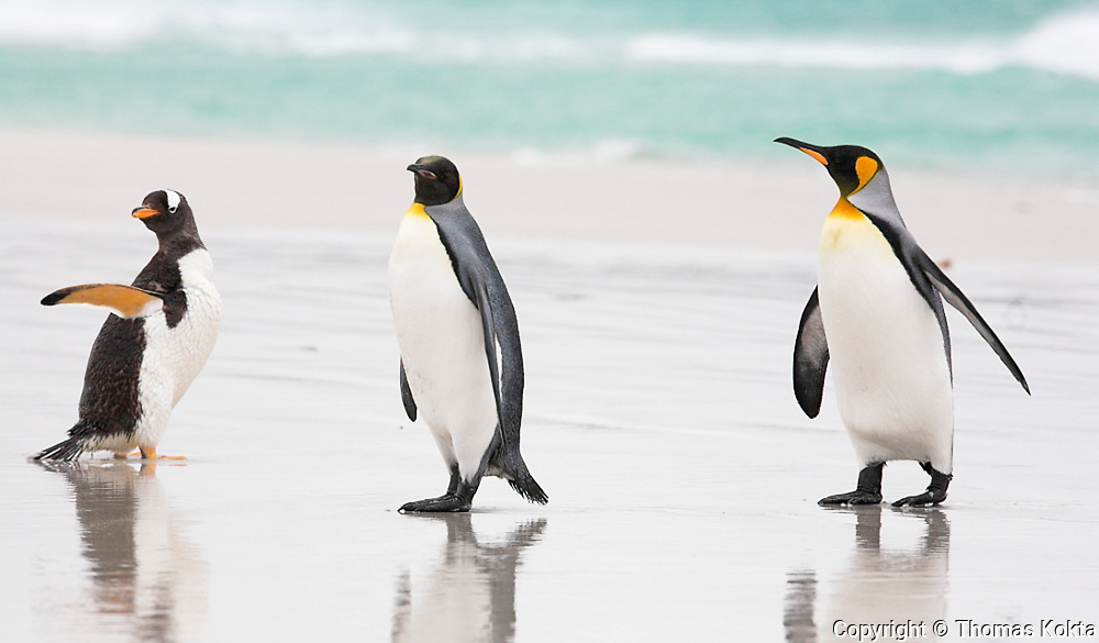 Gentoo-King Penguins
