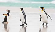 Gentoo-King Penguins