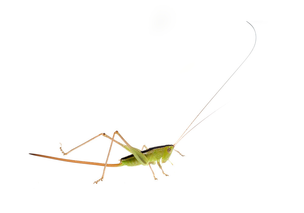 Straight-lanced Meadow Katydid (Conocephalus strictus)