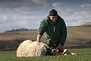 A shephard checks a Ewe after a difficult birth of new new born lambs.