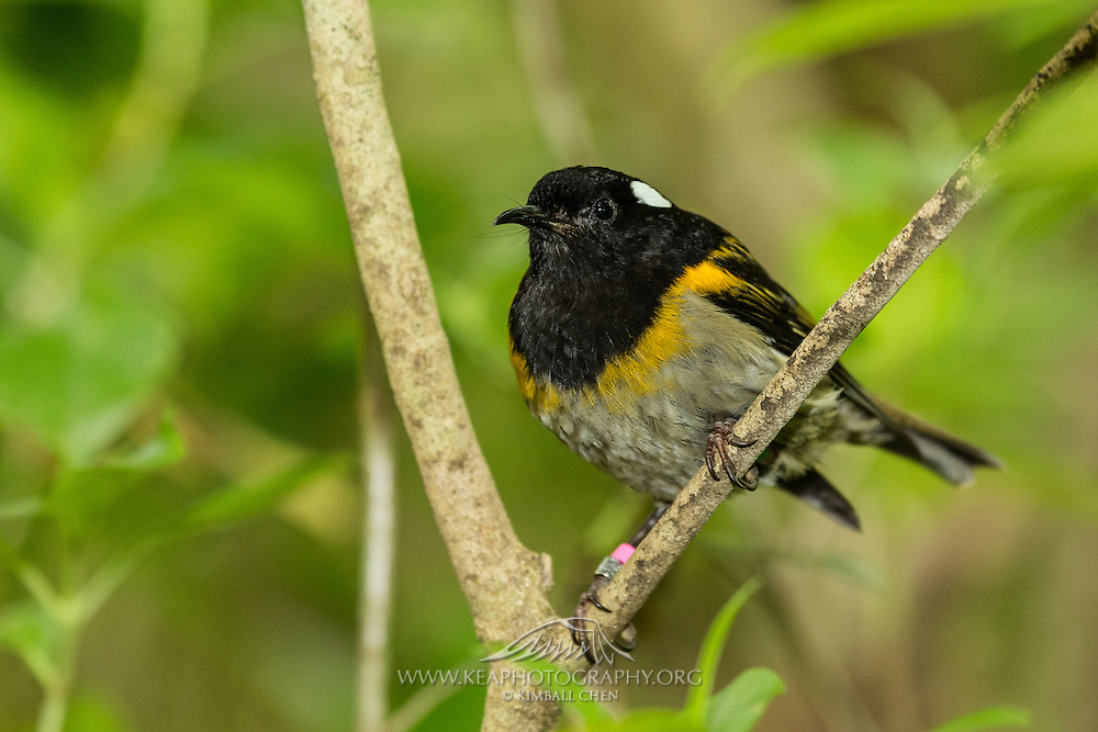 Only 17 of 37 stitchbirds survived the first transfer from Little Barrier Island to Tiritiri Matangi in 1995.  The next year, only 2 of 13 stitchbirds survived the second transfer.  Since this slow start, the stitchbird population on Tiritiri Matangi Island has grown well, jumping to 109 adult birds in 2003.