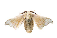 Silkworm Moth (Bombyx mori)<br /> United States: Alabama: Tuscaloosa Co.<br /> Tulip Tree Springs off Echola Rd.; Elrod<br /> 18-Nov-2017<br /> J.C. Abbott #3010
