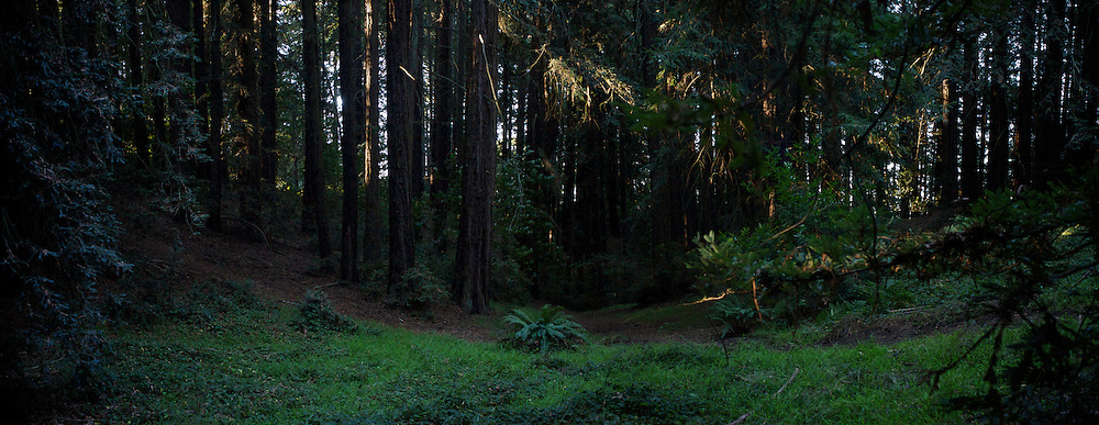 Redwoods in Joaquin Miller Park