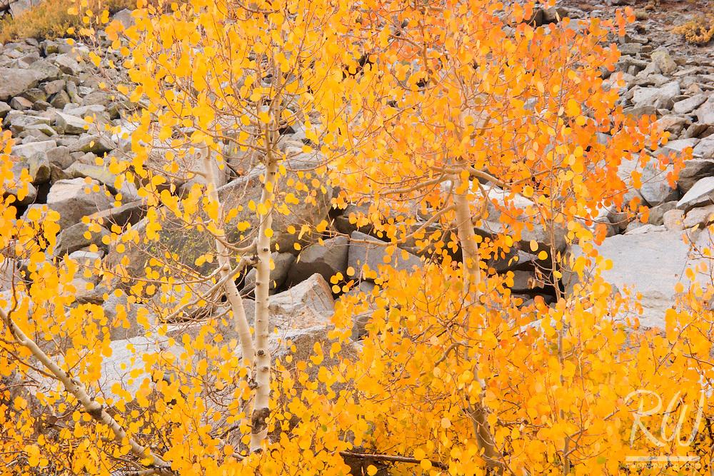 Golden Aspen Trees near North Lake, Inyo National Forest, California