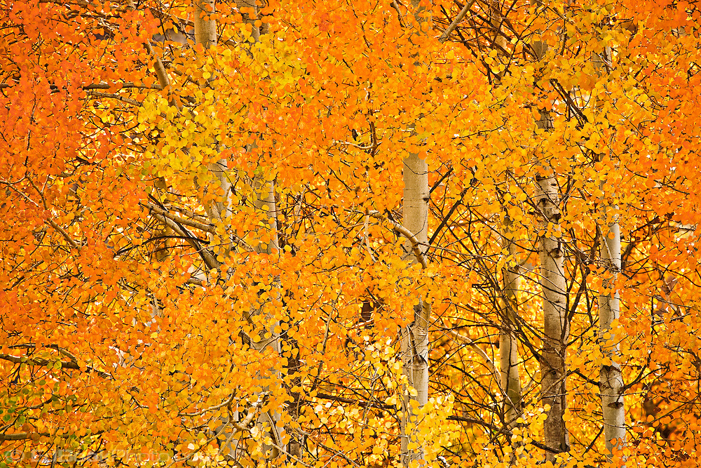 Yellow, orange, and red aspen foliage in autumn color - Oak Creek, Wenatchee National Forest, WA, USA